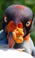 King Vulture by OhSoJinxed