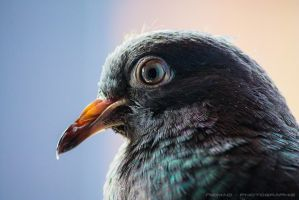 Pigeon by Neimad76
