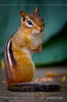 Charming Chipmunk 7850 by AforAperture