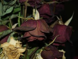 Dead Rose 4 by Irie-Stock