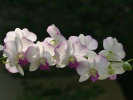 My Orchid29 by Otoff