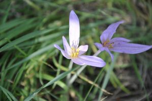Colchicum by MoonBeam3100