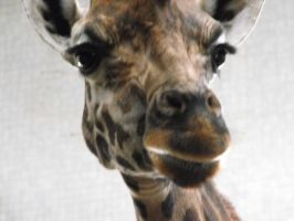 giraffe face by cekcek