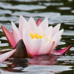 Water Lilly by toosas