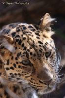 Amur Leopard by MTaylorPhotography