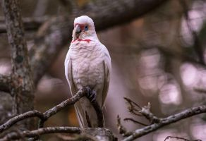 Long Billed Corella by jbrum