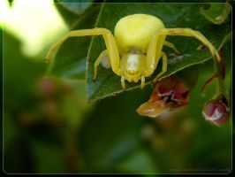 goldenrod spider IV by webcruiser