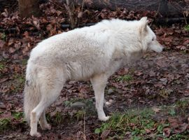 White Wolf Stock 17 by HOTNStock