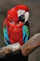 Green-winged Macaw 2614 by robbobert