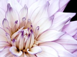 Dahlia Candy 3 by andras120