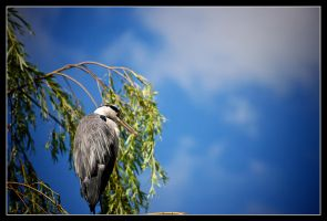 Grey Heron by AoifeMcMahon