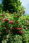 Vined roses by Maewolf86