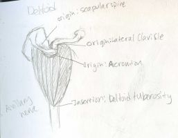 Muscles - Deltoid - Origins, Insertions and Nerve by Mismatching-Socks