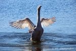 Swan qi gong exercise no.1 by MT-Photografien
