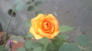 Yellow Rose by cyogesh56