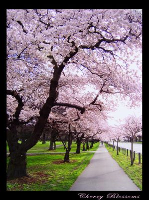 cherry blossoms wallpaper. Cherry Blossoms