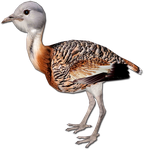 Great Bustard WIP by GrandeChartreuse