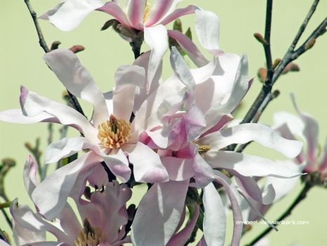 Pink Magnolia by eMBeeL