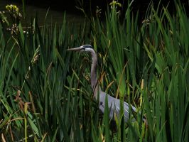 Heron In The Grass by Glacierman54