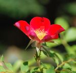 Rose Cup by photoquilter