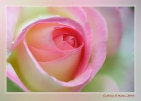 The Rose by CecilyAndreuArtwork