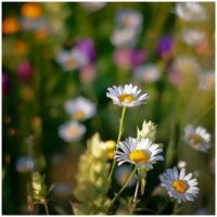 Daisy flower by iustyn