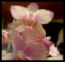 Orchid by jayshree