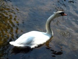 Swans 7 by Holly6669666