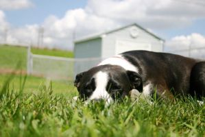 Like a Pitbull in the Grass by FaydraFallen