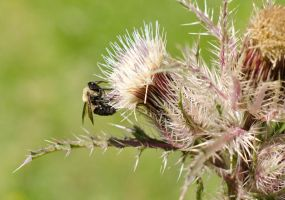 Bee on Thistle(R) by texasghost