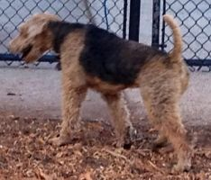 Airedale Terrior 1 by BVS-stock