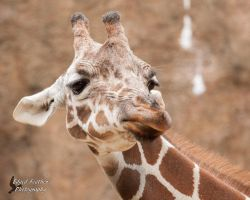 Giraffe 2 by EdgedFeather