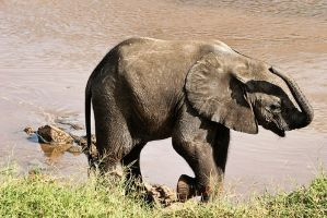 baby elephant playing by demi2004