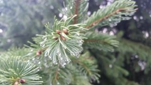 Raindrops on a Spruce by DaiYiCordelia