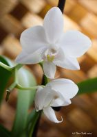 White Orchid by Engelsblut24