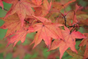 Acer Leaves in Autumn by Solankii