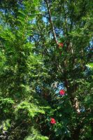 Roses in the Cedar by B9CC1D