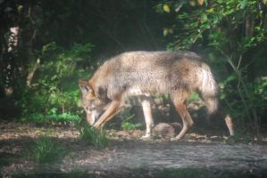 Red Wolf 02 by ManitouWolf