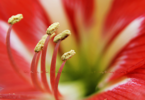 Hippeastrum by 0-kelley-0