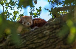 Red Panda by tpphotography