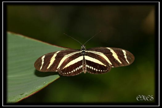Heliconius Charitonius by adtemexi