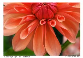 close up dahlias by bracketting94
