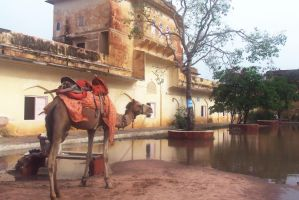 Camel in Jaipur Aamair Fort by frankzzsword