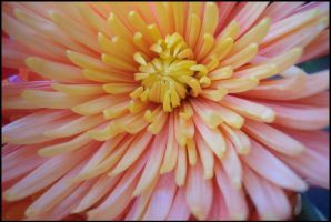 another dahlia... by Somebody-Somewhere