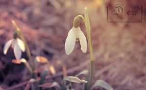 Snowdrop by head-in-the-cloud