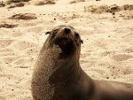 sea lion by experimentalacc