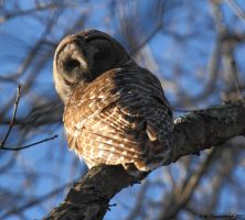 Barred Owl 2 2017 by natureguy
