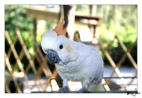 White Parrot by SGResu