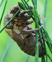 Empty cicada shell left on horsetails by rajaced