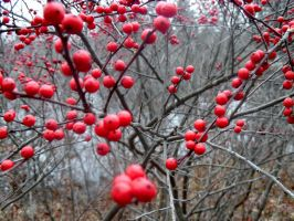 Lots of Red Berries by TheWizardofOzzy